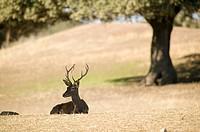 Deer. Sierra Morena. Jaén province, Andalusia, Spain
