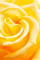 Yellow rose, close-up