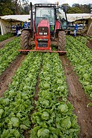 Lettuce harvesting. Norfolk. UK.