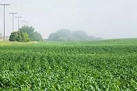 Young wheat in field, Saskatchewan, Canada