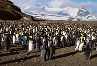 King Penguin (Aptenodytes patagonica) colony. Bay of Isles, South Georgia Island, UK