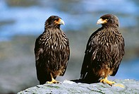 Striated Caracara (Phalcoboenus australis). Falkland Islands, UK