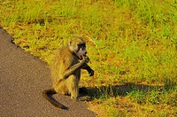 Baboon eating at the roadside, Kruger National Park, Mpumalanga Province, South Africa