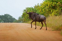 Wildebeest Connochaetes taurinus crossing the road, Kruger National Park, Mpumalanga Province, South Africa