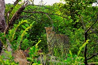 Female leopard Panthera pardus standing on a tree stump in a forest, Motswari Game Reserve, South Africa
