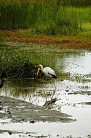 Yellow-Billed stork Mycteria ibis walking in water, Okavango Delta, Botswana
