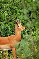 Male Impala Aepyceros melampus in a forest, Chobe National Park, Botswana