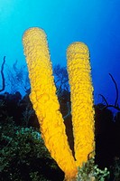 Close-up of Branching Tube Sponge Pseudoceratina crassa underwater, Belize