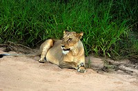 Lioness Panthera leo sitting in a forest, Motswari Game Reserve, Timbavati Private Game Reserve, Kruger National Park, Limpopo, South Africa