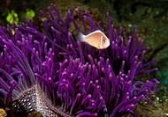 Pink Anemonefish Amphiprion perideriaion swimming underwater, North Sulawesi, Sulawesi, Indonesia