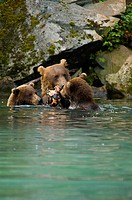 Grizzly bear Ursus arctos horribilis with its two young cubs in a lake