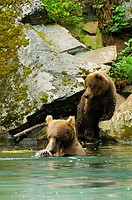 Two Grizzly bears Ursus arctos horribilis at a riverside