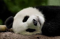 Close-up of a panda Alluropoda melanoleuca sleeping