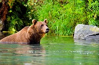 Grizzly bear Ursus arctos horribilis wading in water