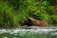 Grizzly bear Ursus arctos horribilis in the river