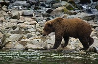Grizzly bear ursus arctos horribilis foraging on a riverside