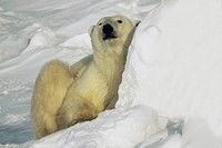 Close-up of a Polar bear Ursus Maritimus sitting on snow