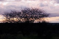 Silhouette of bare trees at dusk, Kruger National Park, South Africa