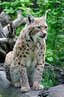 Northern lynx, Lynx lynx