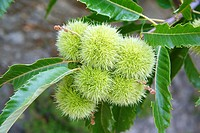 Sweet chestnut, Castanea sativa, growing at C&#233;vennes mountainside near Saint-Martial. C&#233;vennes. Gard. Languedoc-Roussillon. France