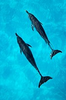 Atlantic Spotted Dolphins (Stenella frontalis). Bahamas.