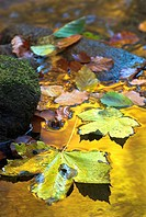 Steinklamm, mountain creek, maple and beech leaves, reflection of autumn colours, Bavarian Forest, Bavaria