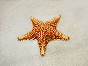 Close-up of a Cushion Starfish Oreaster reticulatus in sand, Providencia (thumbnail)