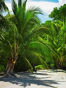 Palm trees on the beach, South West Bay, Providencia, Providencia y Santa Catalina, San Andres y Providencia Department, Colombia