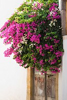 Bougainvillea flowers outside of a house, Patmos, Dodecanese Islands, Greece