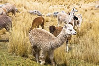 Llamas Lama glama with alpacas Lama pacos and sheep grazing in a pasture, Peru