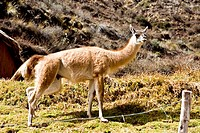 Close-up of a vicuna, Aguanacancha, Peru