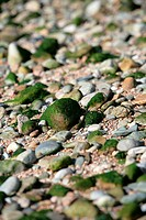Green algae on pebbles on Breton beach, France