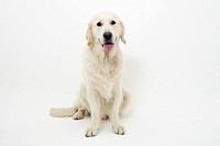 golden retriever posing on a white background
