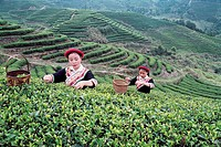 She Nationality girls picking tea leaves, Youshan tea garden, Beifeng Town, Fuzhou City, Fujian Province of People´s Republic of China, FOR EDITORIAL ...