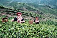 She Nationality girls picking tea leaves, Youshan tea garden, Beifeng Town, Fuzhou City, Fujian Province of People´s Republic of China, FOR EDITORIAL ...