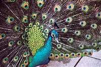 Peacock in the forest park, Fuzhou City, Fujian Province of People's Republic of China