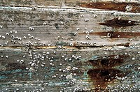 Close_up of wooden plank with barnacles, Xiaozuo ship repairing field, Huian County, Fujian Province of People's Republic of China