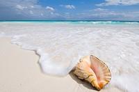 Conch shell washed by waves on beach