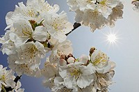 Cherry tree blossom, backlit by sun, close-up