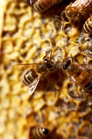 Bees on honeycomb, close-up