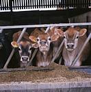 Jersey calves. Hertfordshire, England, UK