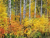 Autumn aspen trees along Stevens Pass. Highway 2. Washington State, USA