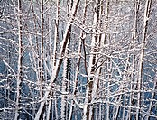 Snow on winter alder trees in the Samish Valley, Washington State, USA