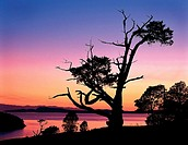 Weathered juniper tree in sunset at Washinton Park, Anacortes, Washington, USA
