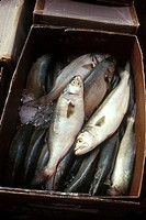 Bass in box at fish market. Wholesale