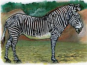 An illustration of a zebra