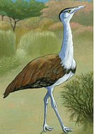 An illustration of an indian bustard