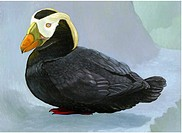 An illustration of a tufted puffin