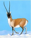 An illustration of a tibetan antelope