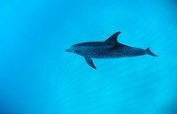 Atlantic spotted dolphin, Stenella frontalis, USA, America, United States, North America, FL, Florida, Atlantic Ocean,